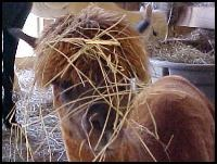 Good quality hay can also be worn in fashionable ways!